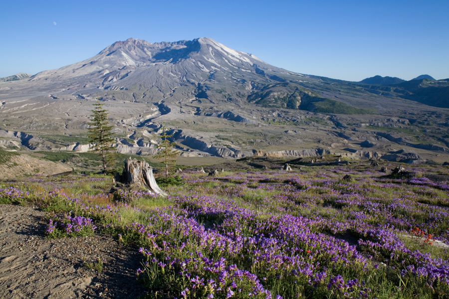 Meadows filled with Prairie Lupine (Lupinus lepiduson) around Mt St Helens